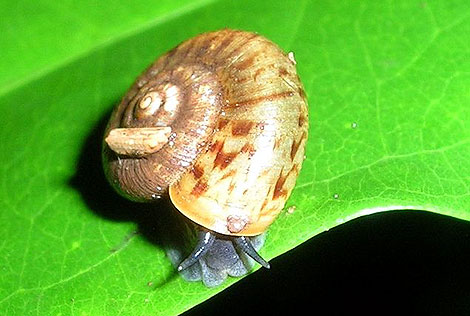 An unidentified snail from Nandi Hills, India.