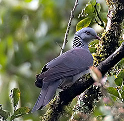 Nilgiri wood pigeon (Columba elphinstonii) - The forest area is also residence for a relict population of the Nilgiri Woodpigeon.
